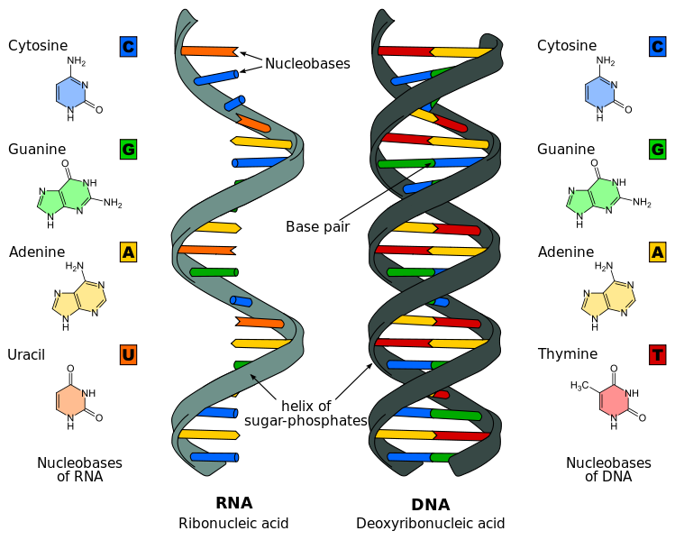 Key Difference Between DNA and RNA
