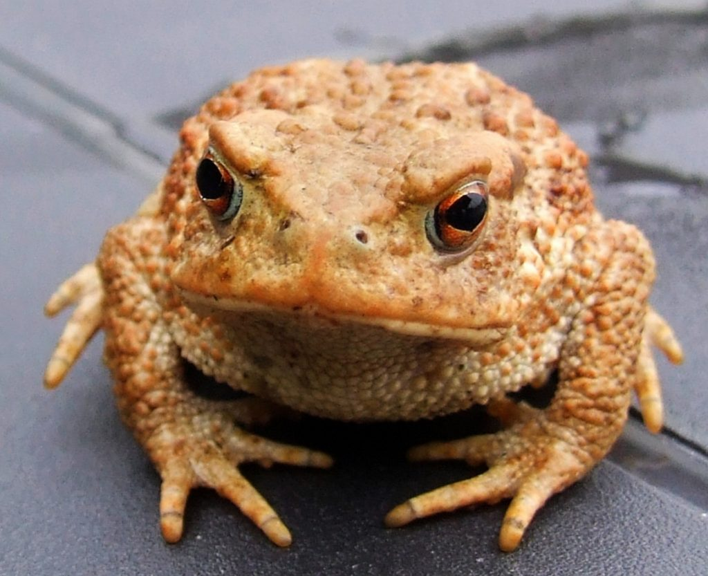 Key Difference Between Frogs and Toads