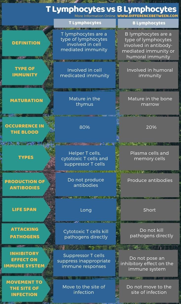 Difference Between T Lymphocytes And B Lymphocytes