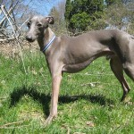 Difference Between Italian Greyhound and Whippet