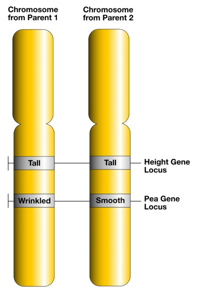 Key Difference Between Gene and Allele