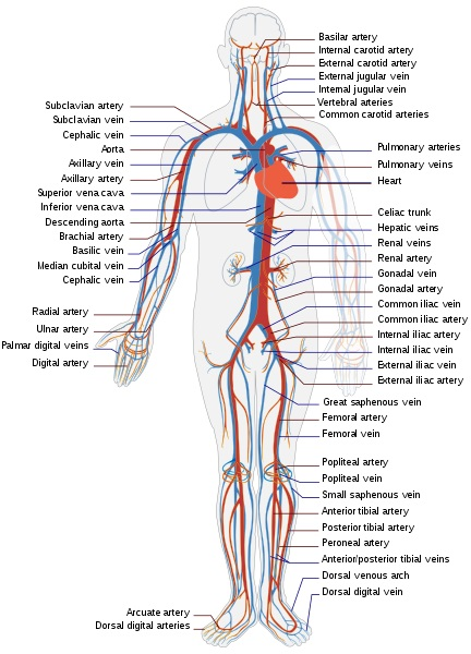 Difference Between Open Circulatory System and Closed Circulatory System_Fig 02