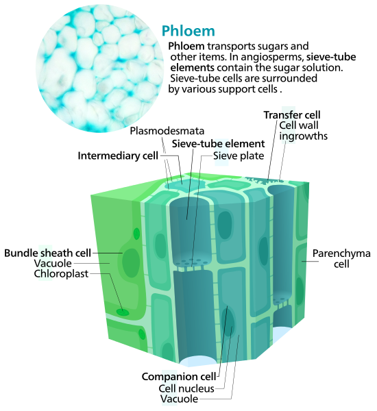 Difference Between Xylem and Phloem_Fig 02