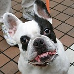 Difference Between French Bulldog and Boston Terrier