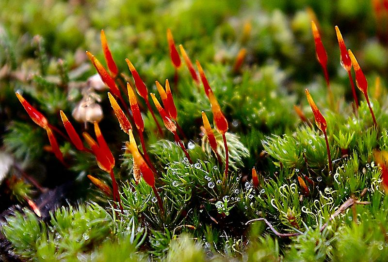 Difference Between Bryophytes and Tracheophytes