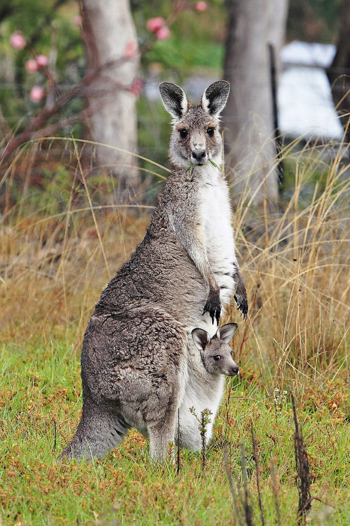 Key Difference Between Mammal and Marsupial