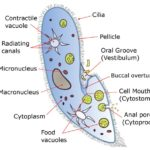 Difference Between Multicellular and Unicellular