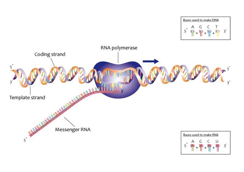 Transcription vs Translation in DNA
