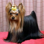 Difference Between Yorkshire Terriers and Silky Terriers