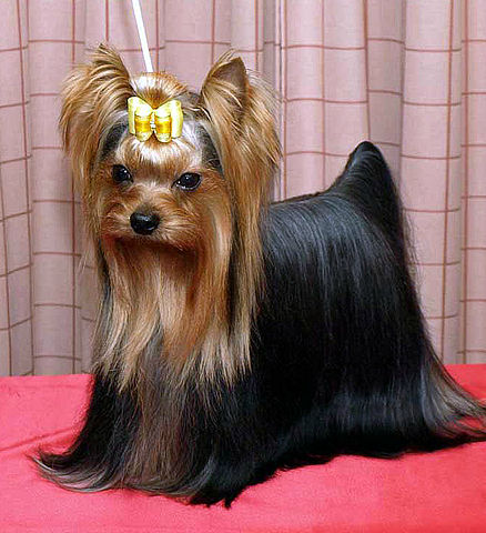 Yorkshire Terriers And Silky