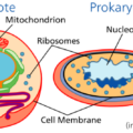 Difference Between Lysosomes and Ribosomes