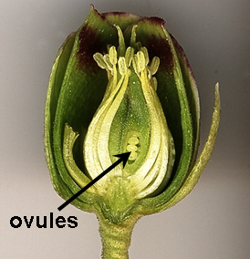 Key Difference Between Ovary and Ovule