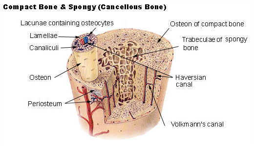 Key Difference Between Compact and Cancellous Bone