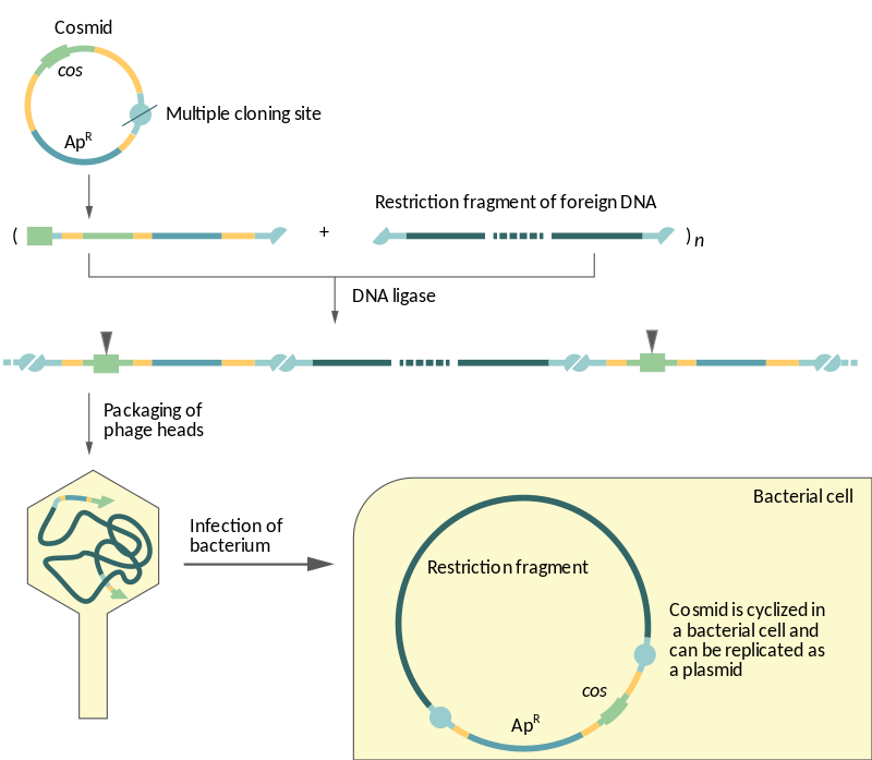 Key Difference Between Plasmid and Cosmid
