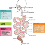 Difference Between Digestion and Absorption