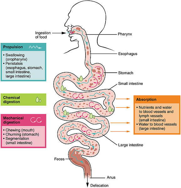 Difference Between Digestion and Absorption | Compare the Difference Between Similar Terms