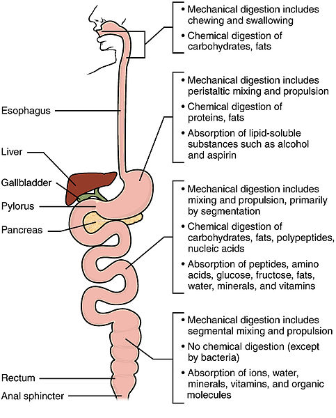 Difference Between Mechanical Digestion and Chemical Digestion