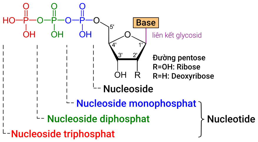 Difference Between Nucleotide and Nucleoside