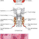 Difference Between Thyroid and Parathyroid