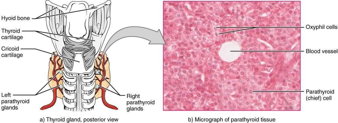 Key Difference - Thyroid vs Parathyroid