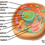 Difference Between Eukaryotic and Prokaryotic