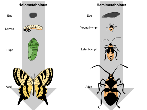Difference Between Incomplete and Complete Metamorphosis