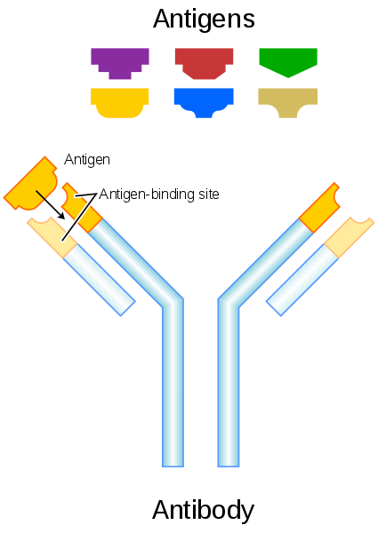 Difference Between Antigen and Antibody