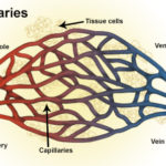 Difference Between Capillaries and Veins
