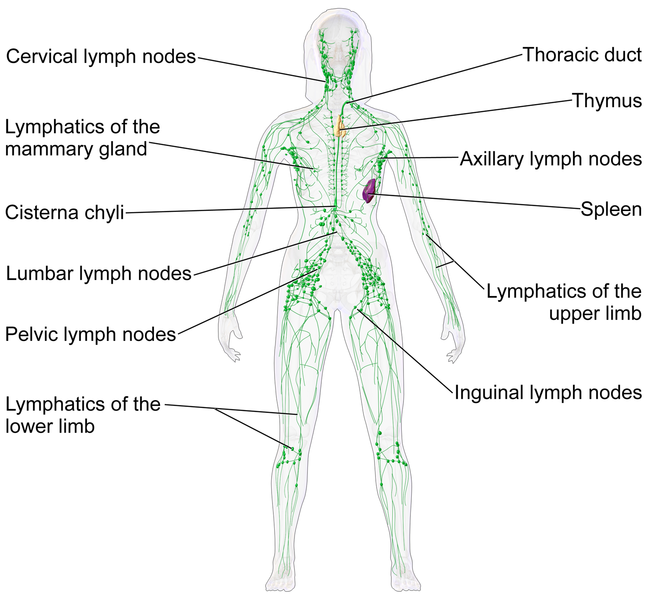 Difference Between Circulatory System And Lymphatic System L