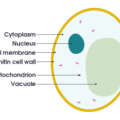 Difference Between Cytoplasm and Cytosol