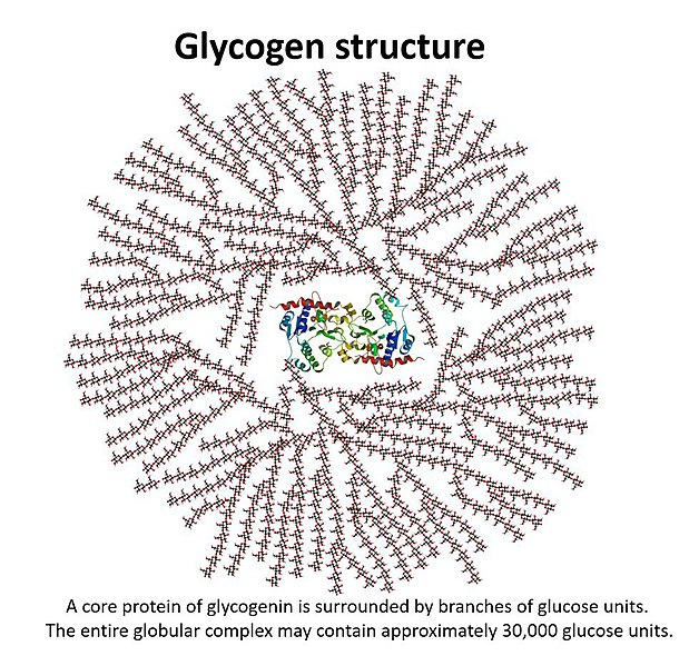 Difference Between Glycogen and Glucose
