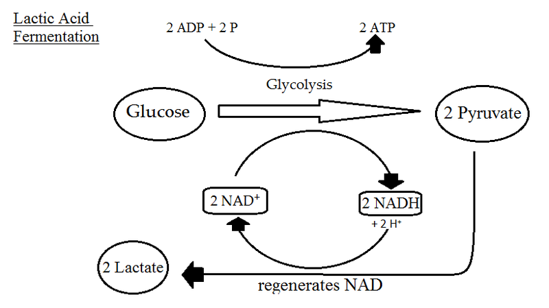 Difference Between Lactic Acid and Alcoholic Fermentation