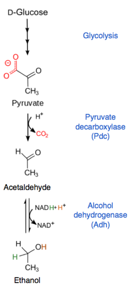 Key Difference Between Lactic Acid and Alcoholic Fermentation