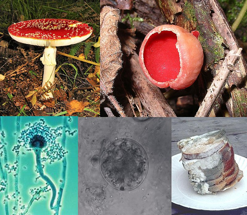 Difference Between Mushrooms and Fungus