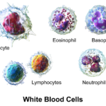 Difference Between Red Blood Cell and White Blood Cell