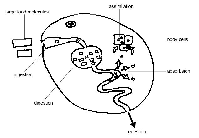 Key Difference Between Absorption and Assimilation