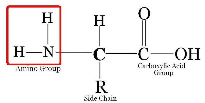 Difference Between Amino Acid and Nucleic Acid