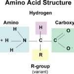 Difference Between Amino Acid and Nucleotide