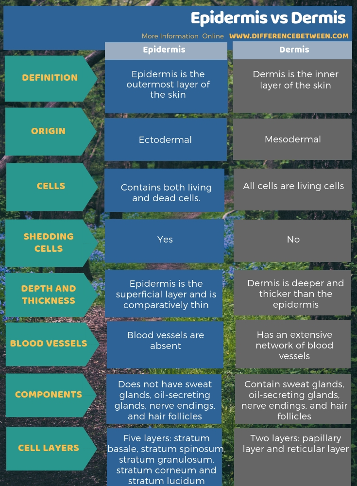 Difference Between Epidermis and Dermis - Tabular Form