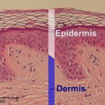 Difference Between Epidermis and Dermis