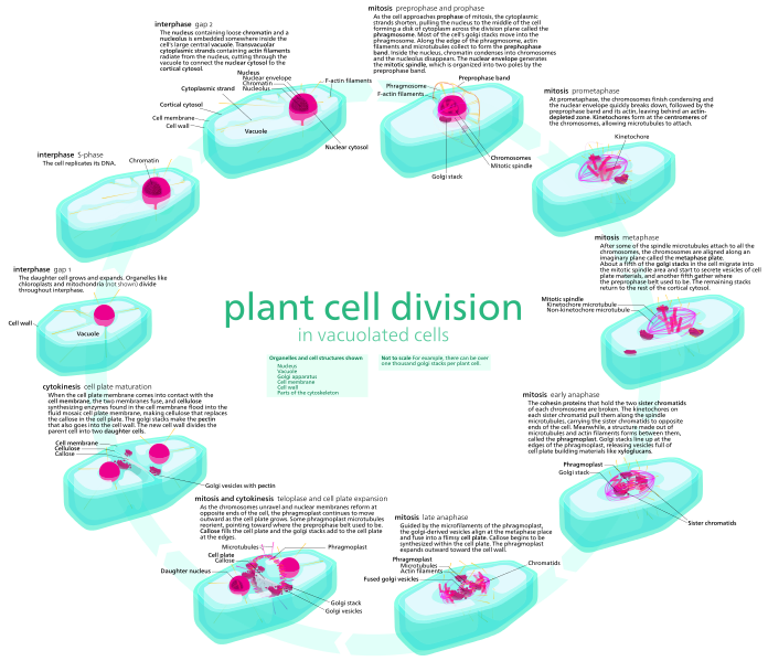 Key Difference Between Animal and Plant Mitosis