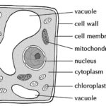 Difference Between Vacuoles and Vesicles