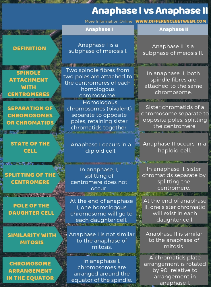 Difference Between Anaphase I and Anaphase II in Tabular Form