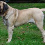 Difference Between Bullmastiff and English Mastiff