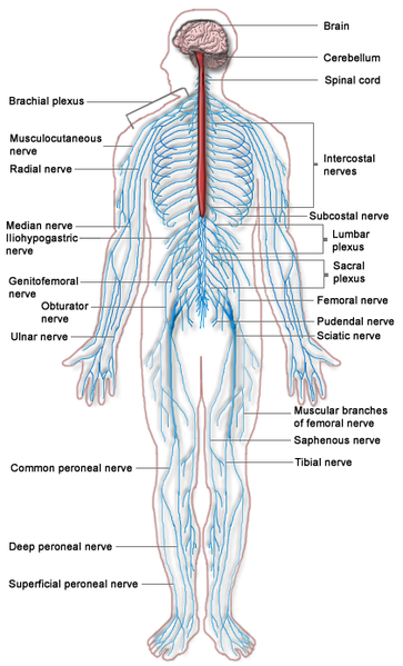 Difference Between Nervous System and Endocrine System l Nervous ...