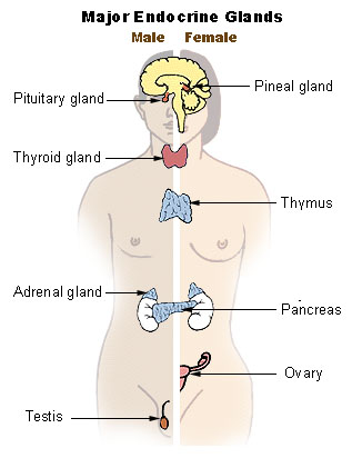 Key Difference Between Nervous System and Endocrine System