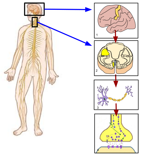 Difference Between Somatic and Autonomic Nervous System