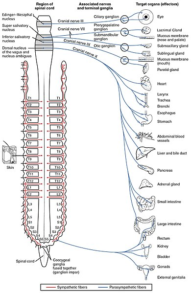Key Difference Between Somatic and Autonomic Nervous System