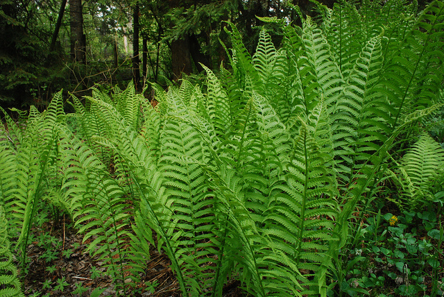 Key Differences Between Bryophytes and Ferns