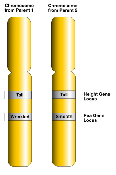 Key Difference Between Allele and Genotype